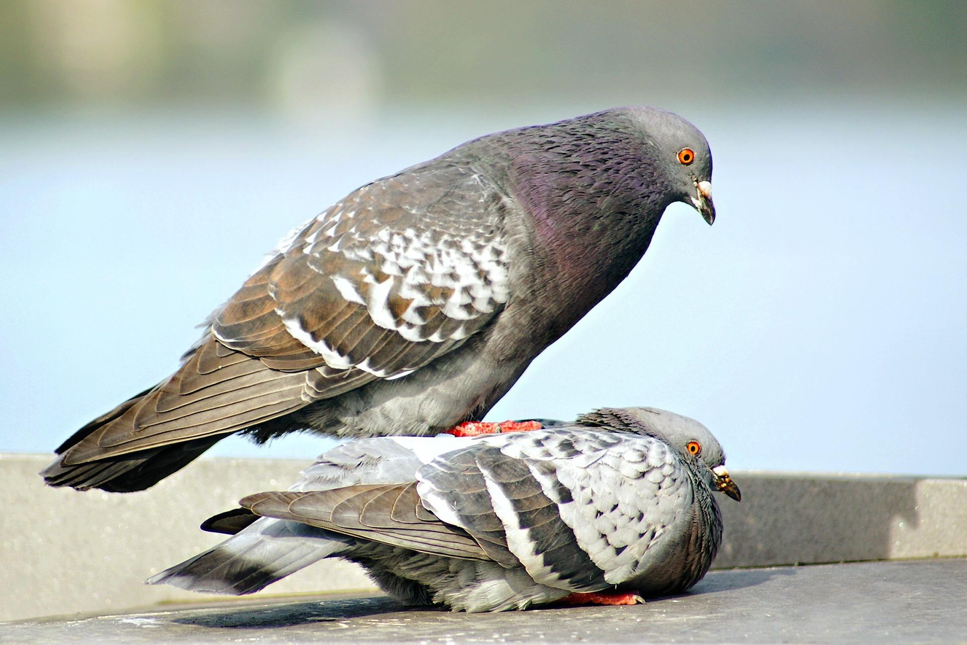 Bosskampf Tauben